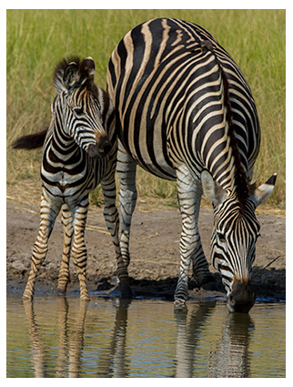 Father and Son Zebras